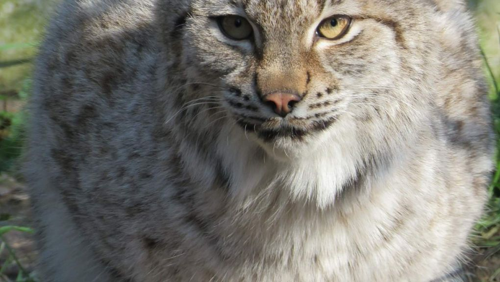 Loki, lynx de Scandinavie