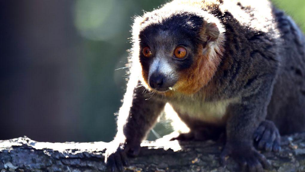 Lémur mongoz © MNHN - François-Gilles Grandin