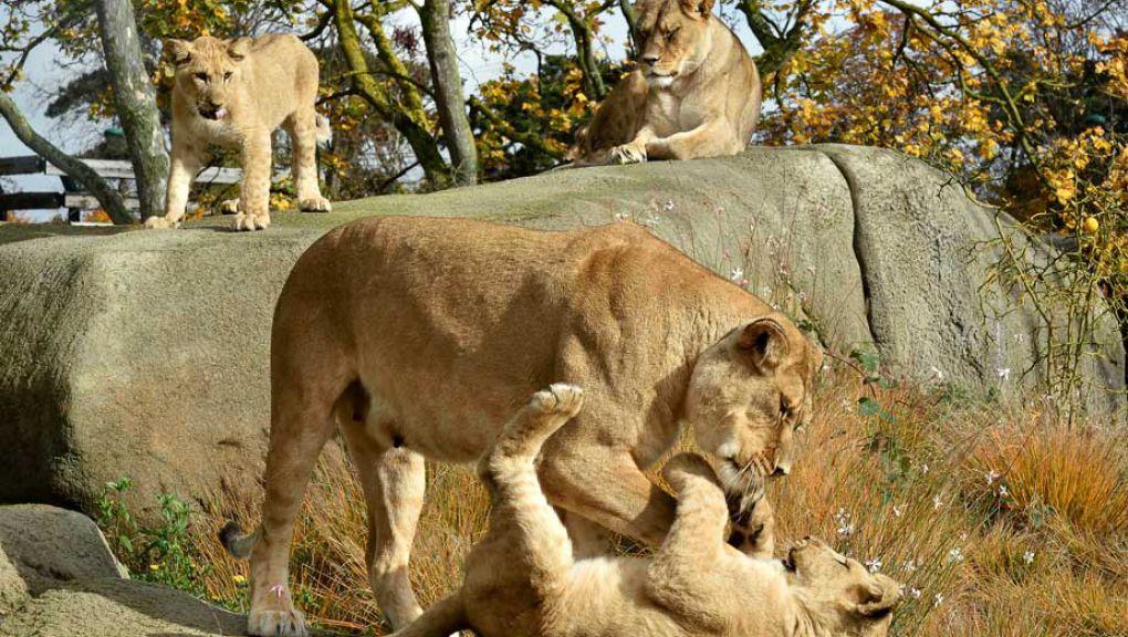 Lions d'Afrique © MNHN - F-G Grandin