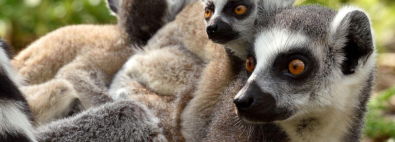 Femelle maki catta et ses petits © MNHN - F-G Grandin
