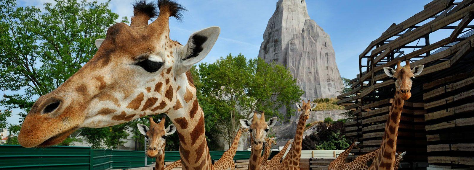 Girafes de l'Ouest du zoo © F-G Grandin