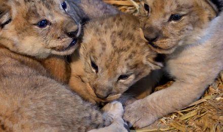 Lionceaux PZP © F-G Grandin MNHN