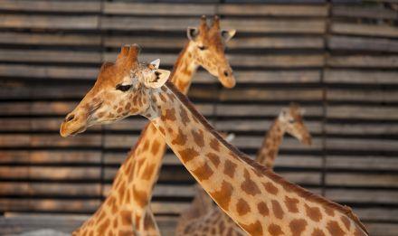 Girafes d'Afrique de l'Ouest © Théo Stefanini