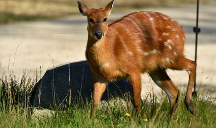 Antilope Tragelaphus spekei © F-G Grandin - MNHN