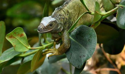 Iguane Vert © MNHN - F-G Grandin