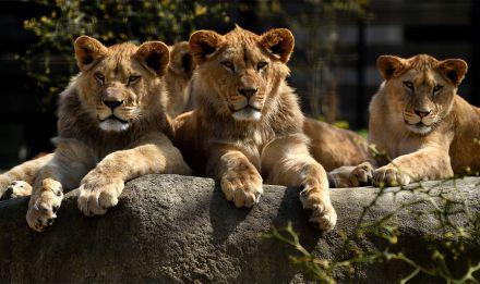 Lionceaux © MNHN - François-Gilles Grandin