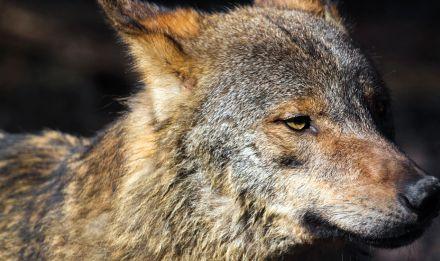 Diablo, le loup ibérique © Manuel Cohen - MNHN