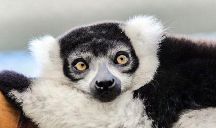 Lémure de Madagascar © Manuel Cohen - MNHN