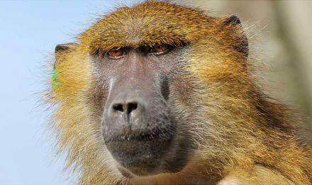 Uyuni, la femelle babouin de Guinée (Papio papio) © F-G Grandin - MNHN