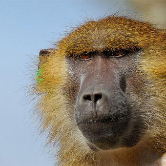 Uyuni, le babouin de Guinée © MNHN - François Grandin
