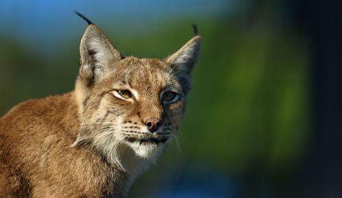 Lynx d'Europe © MNHN - François-Gilles Grandin