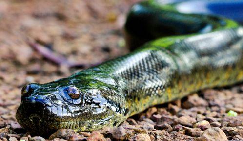 Anaconda rampant sur une piste en latérite - Région de Kaw, Guyane © PlanetNoé - Thierry Montford