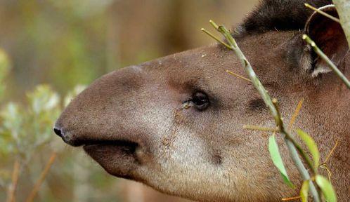 Quida, le tapir © François-Gilles Grandin - MNHN