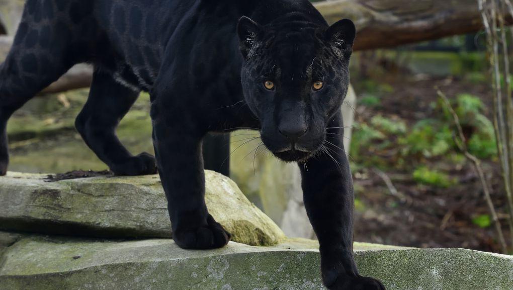 Aramis le jaguar © MNHN - F.-G. Grandin