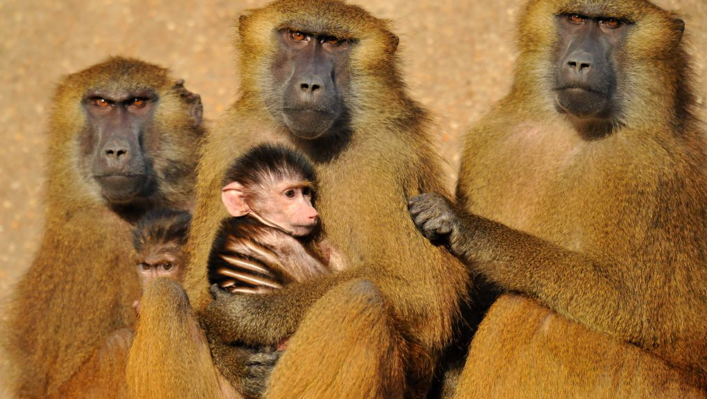 Babouins de Guinée © MNHN - F.-G. Grandin