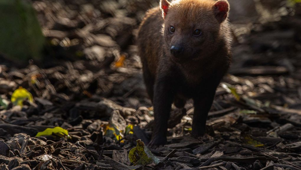 Chispa, jeune chien des buissons © MNHN - F.-G. Grandin