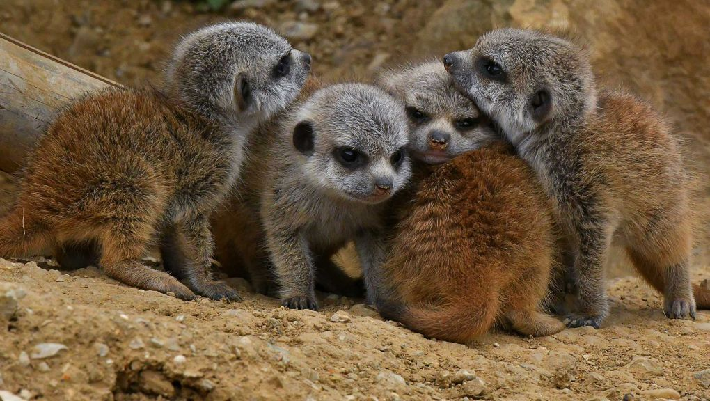 Cinq petits suricates © MNHN - F.G. Grandin