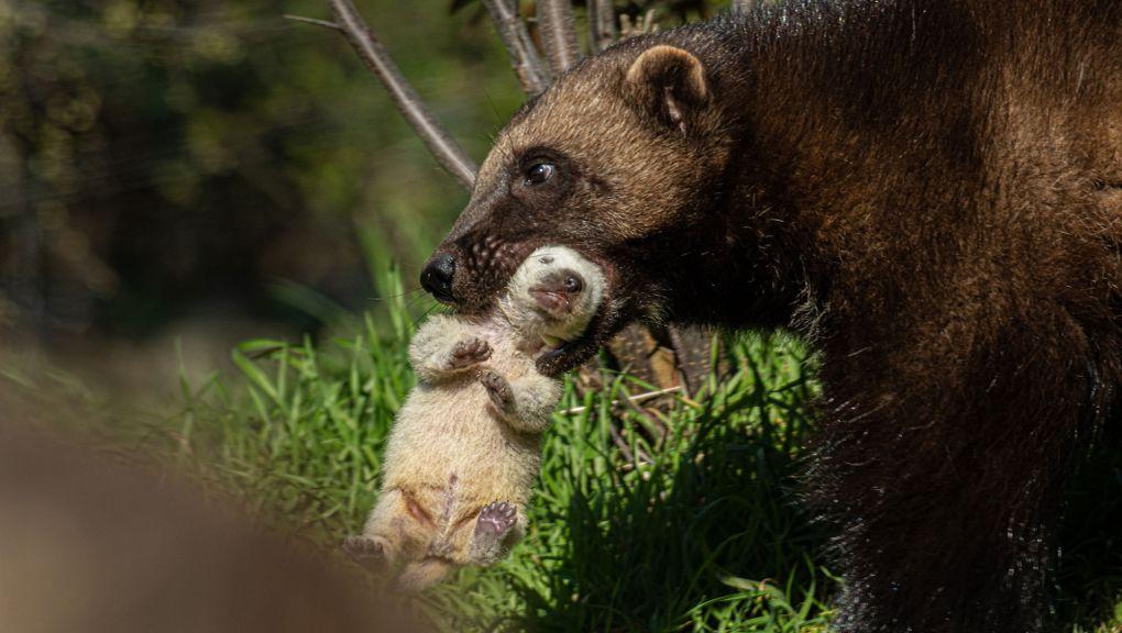Femelle glouton et son petit © MNHN F-G Grandin
