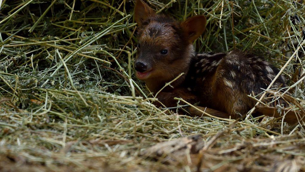 Un petit pudu vient de naître au parc ! MNHN - F.G grandin
