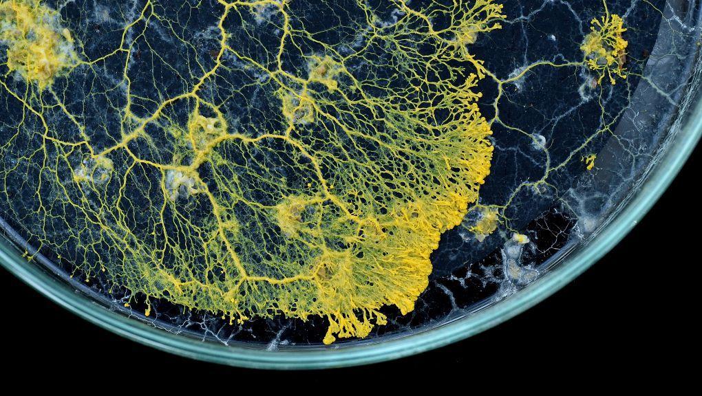 Blob dans une boite de petri. © MNHN - F.G Grandin