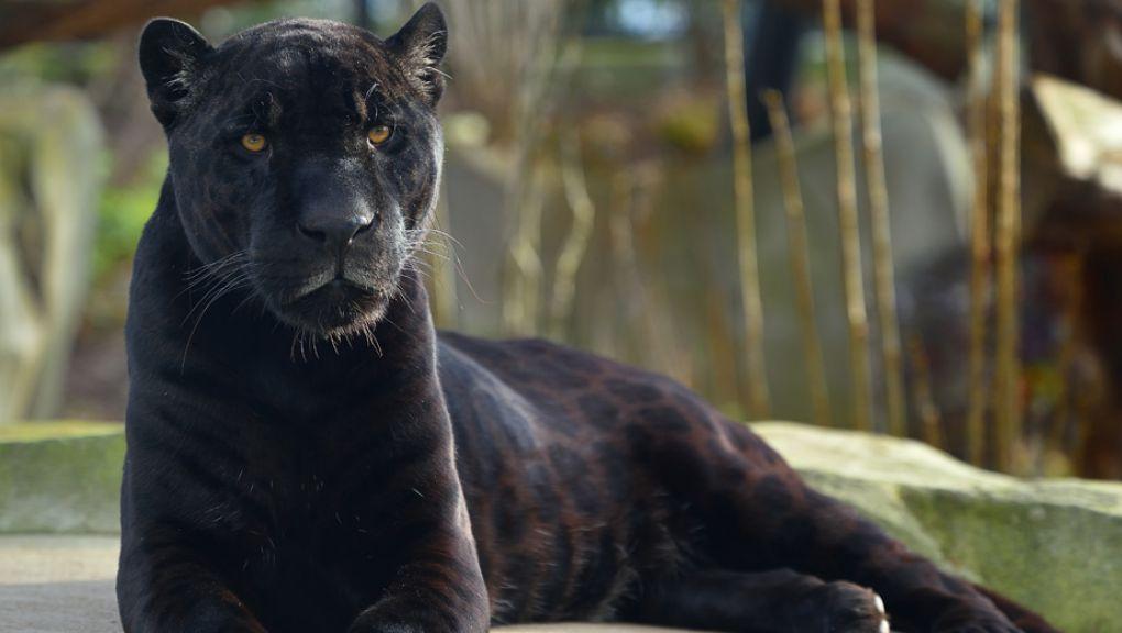 Aramis, le jaguar mâle © MNHN - F-G Grandin