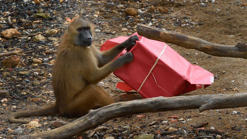 Babouin de Guinée et son cadeau © MNHN - F G. Grandin