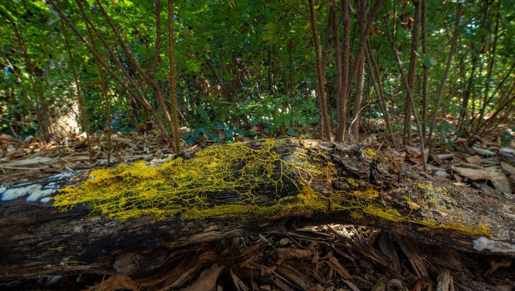 Blob sur un tronc d'arbre © MNHN - F.G Grandin