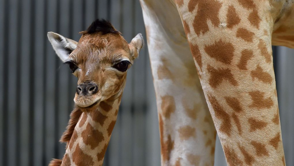 Girafon © MNHN – F-G. Grandin