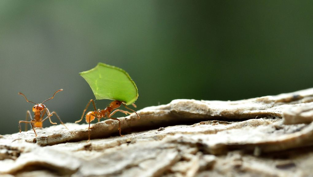 Fourmis champignonnistes © MNHN - F.-G. Grandin