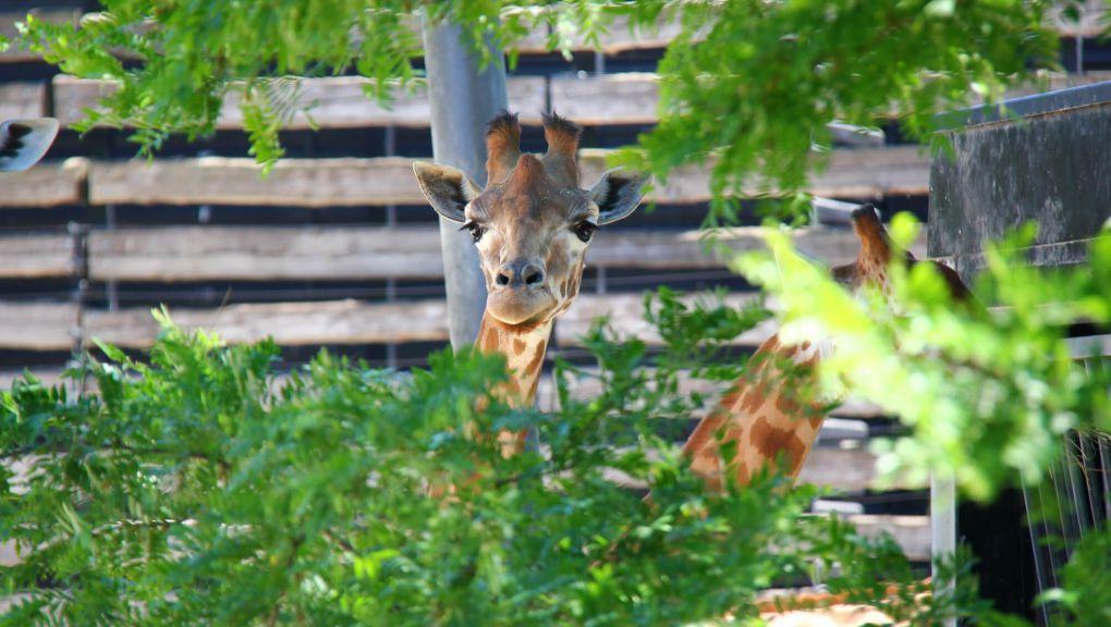 Girafe © MNHN - David Buchemeyer