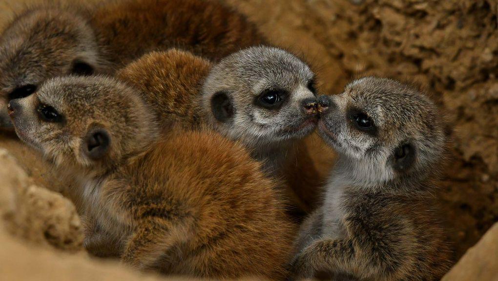 Groupe de petits suricates © MNHN - F.G. Grandin