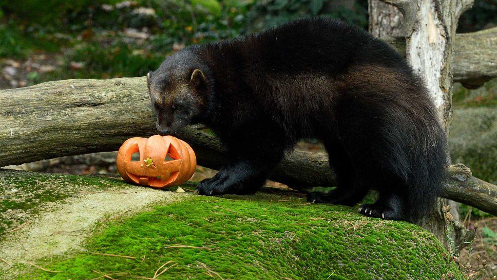 Halloween au Parc zoologique de Paris © MNHN - François-Gilles Grandin