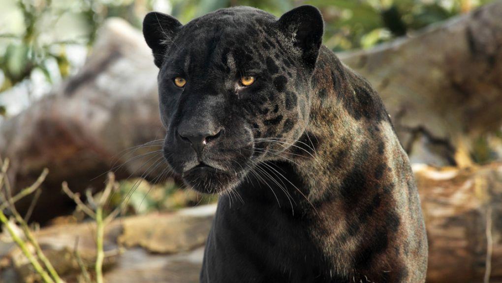 Aramis le jaguar © Manuel Cohen