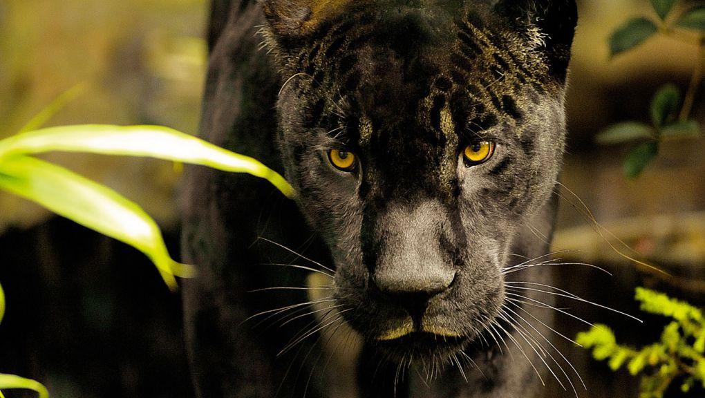 Aramis, le jaguar © MNHN - FG Grandin
