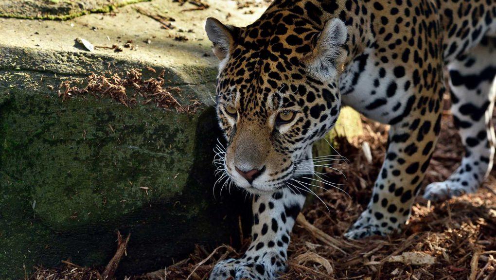 Jaguar © MNHN - F.-G. Grandin