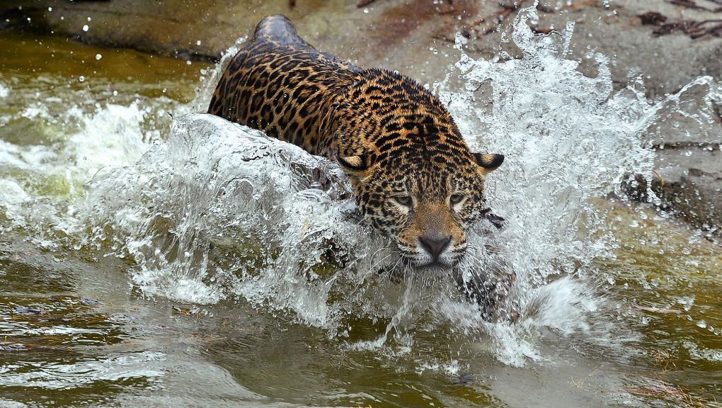 Jaguar dans l'eau © MNHN - F.-G. Grandin