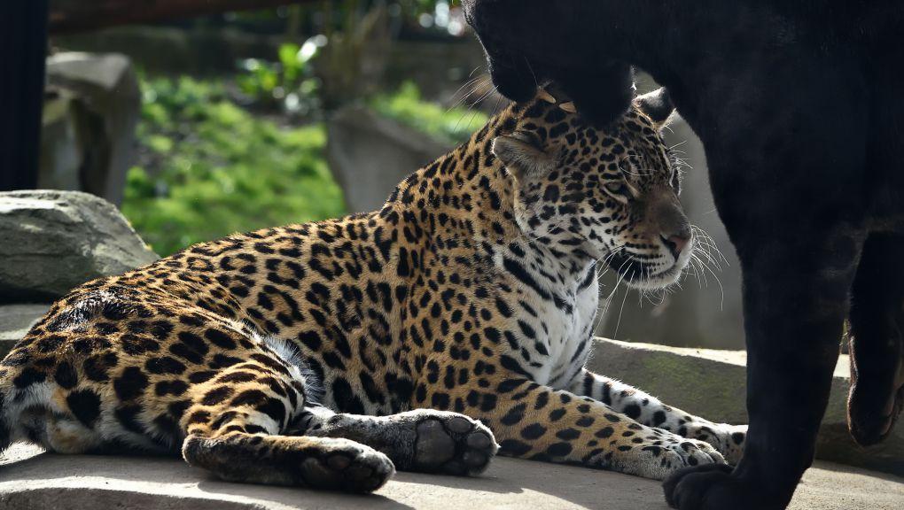 Jaguars du Parc zoologique de Paris © MNHN - F.-G. Grandin