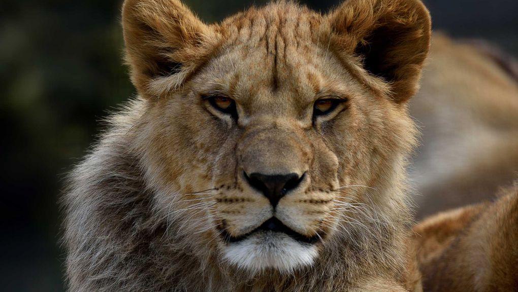 Le lion Kibo en 2016 © MNHN - F.-G. Grandin