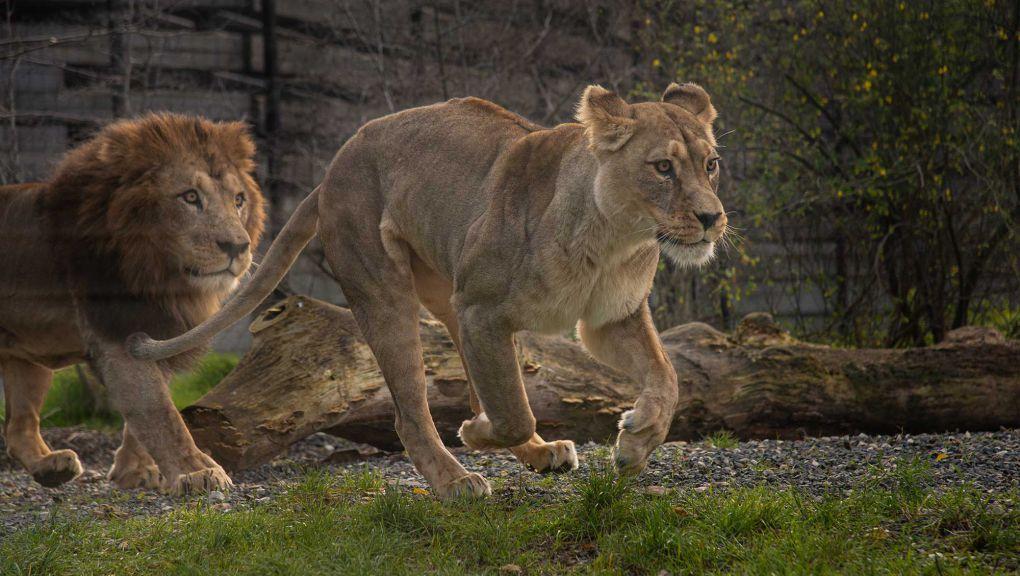 Lion et lionne de l'Atlas © MNHN - F.-G. Grandin