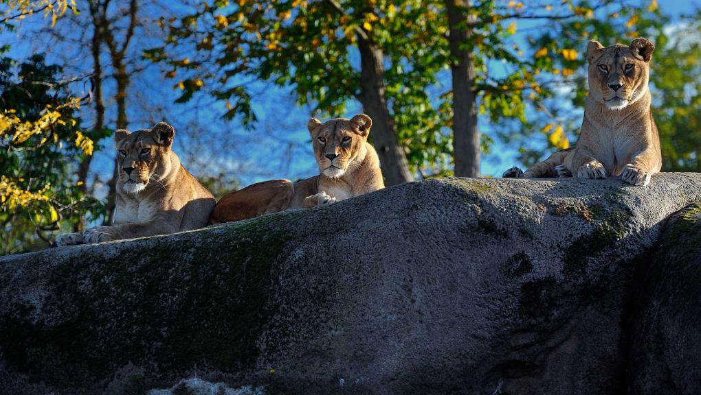 Lionnes du Parc zoologique de Paris © MNHN - F.-G. Grandin