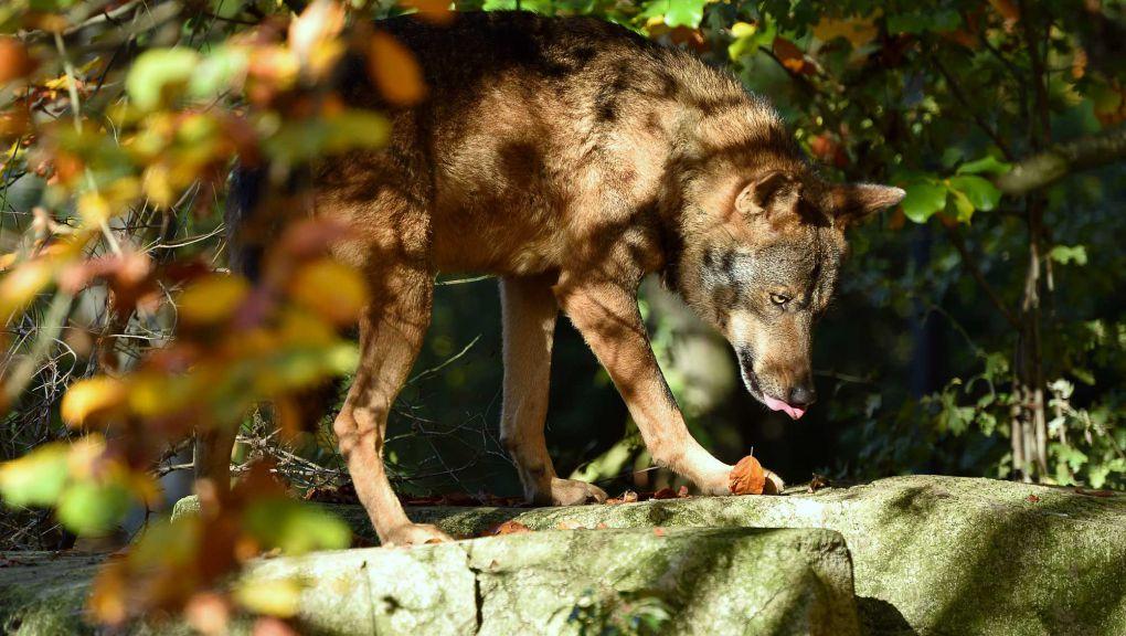 Loup ibérique © MNHN - F.-G. Grandin