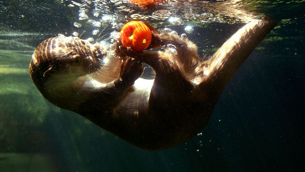 Loutre dans l'eau © MNHN - F-G. Grandin
