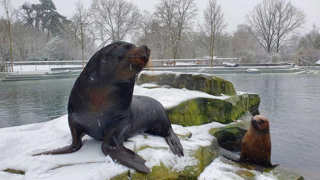 Otarie mâle adulte (276 kg) et Naya, jeune otarie à crinière (60 kg) © MNHN - Parc zoologique de Paris