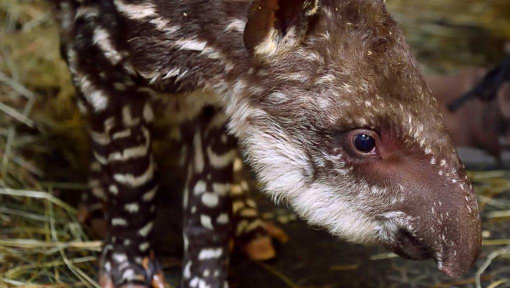 Naissance d'un petit tapir terrestre © MNHN - F.-G. Grandin