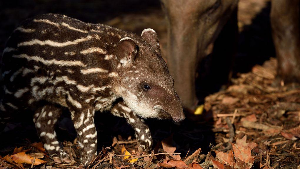 Neytiri jeune tapir terrestre née en novembre 2020 © MNHN - F-G Grandin
