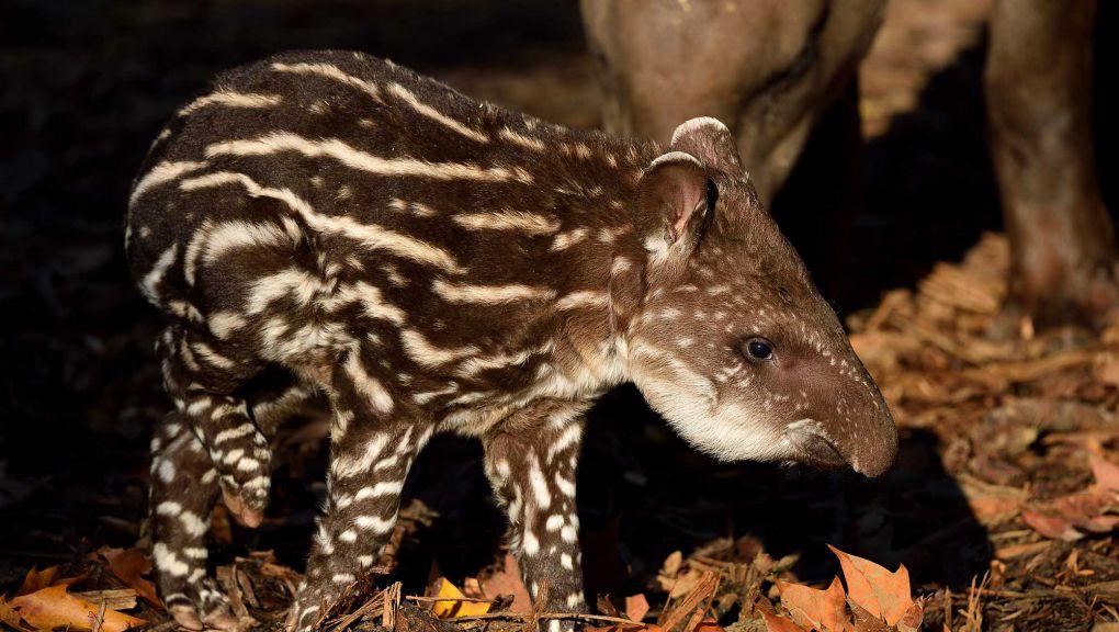 Neytiri, jeune tapir terrestre © MNHN - F.-G. Grandin