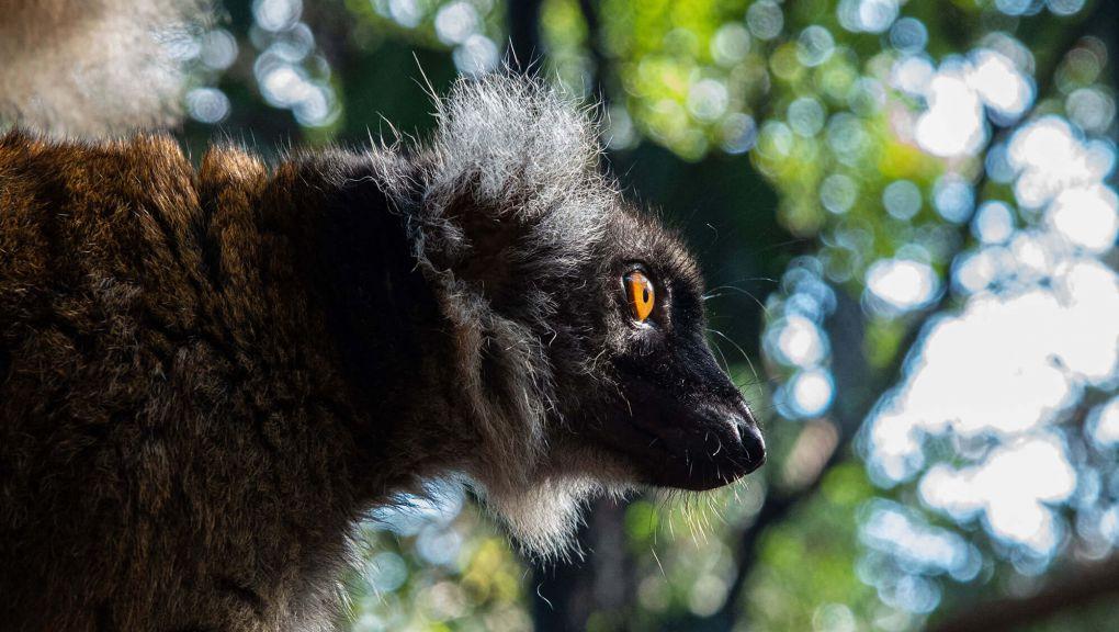 Lémur noir ou lémur macaco (Eulemur macaco) © MNHN – F.-G. Grandin