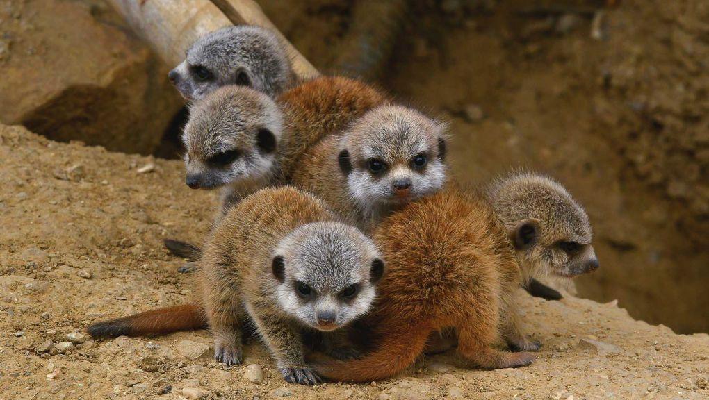 Petits suricates regroupés © MNHN - F.G. Grandin