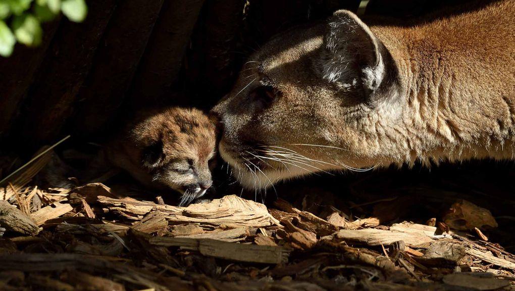 Puma et son petit © MNHN - F.-G. Grandin