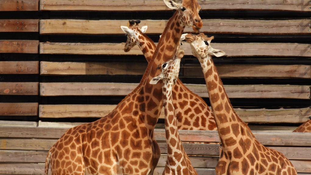 Girafes dans leur plateau extérieur © Manuel Cohen